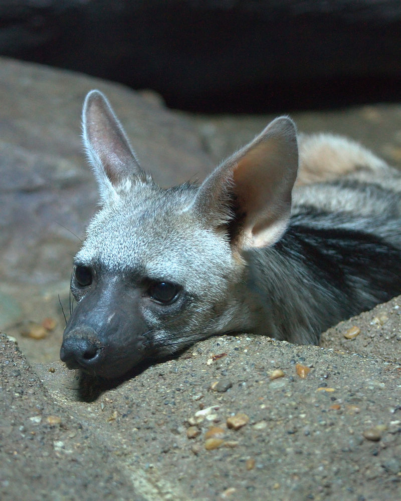 Interesting Facts About Aardwolves