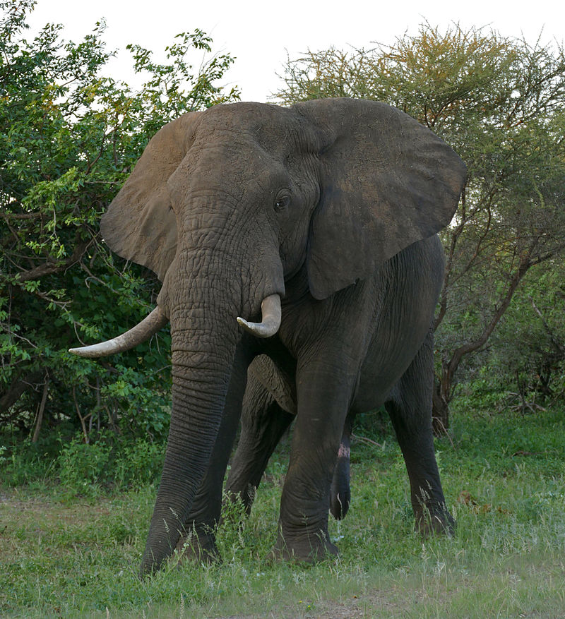 Interesting Facts About African Bush Elephants