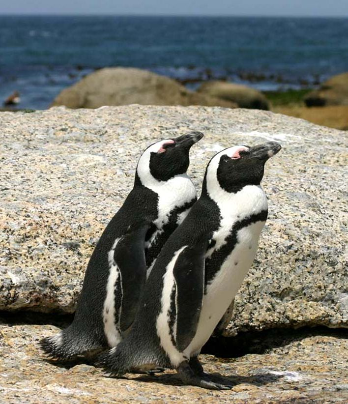 Interesting Facts About African Penguins