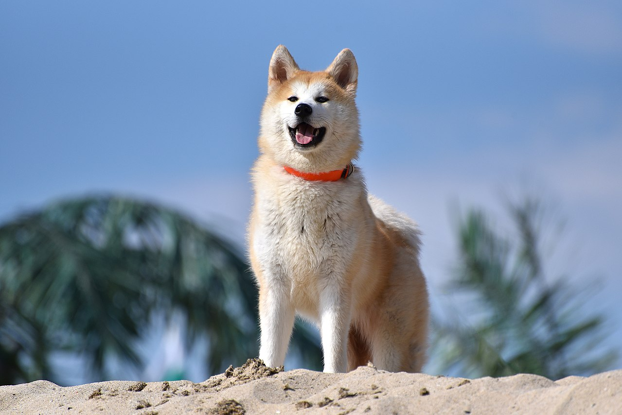 Interesting Facts About Akita Inu Dogs