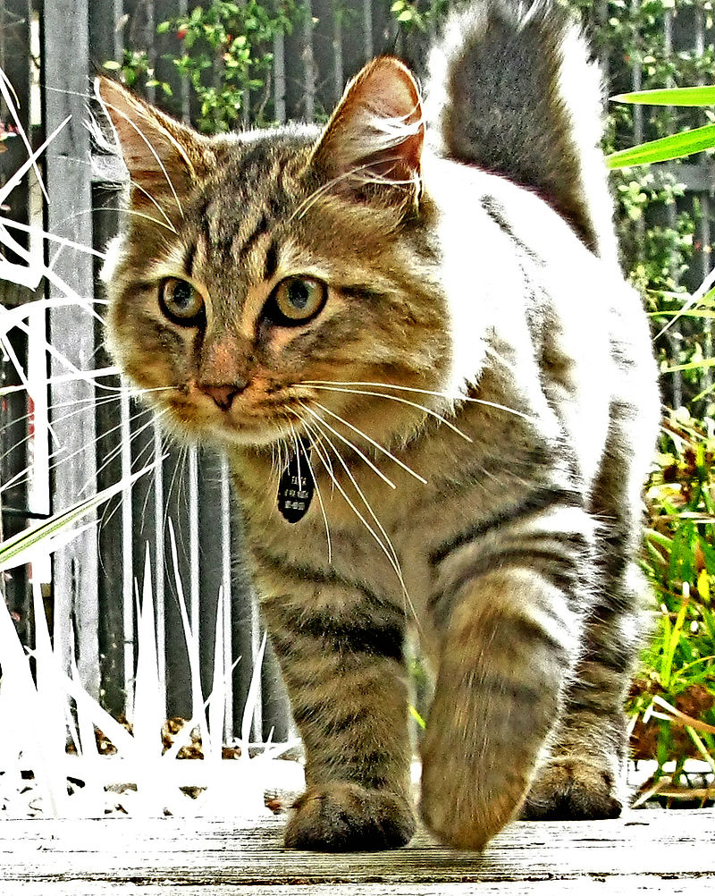 Interesting Facts About American Bobtail Cats