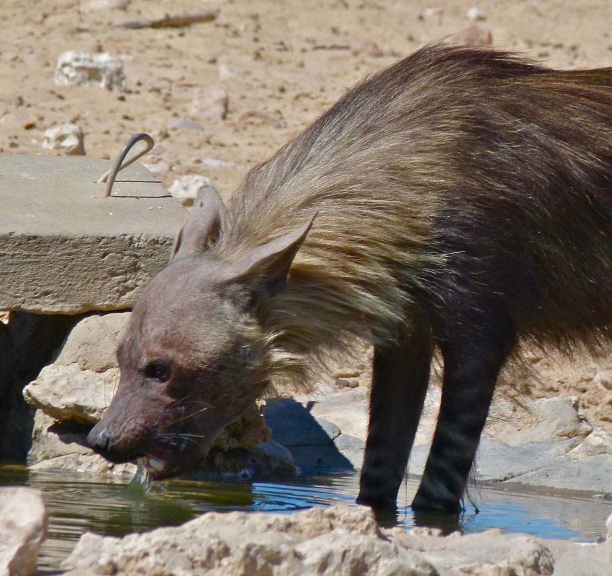 Interesting Facts About Brown Hyenas