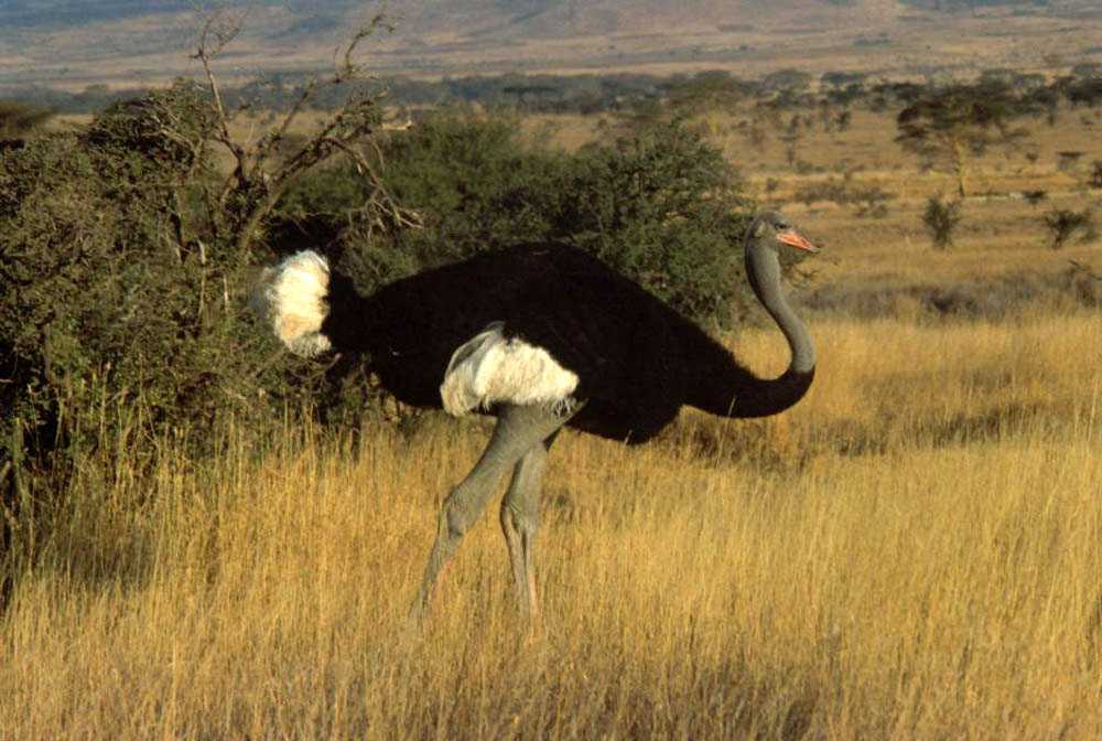 Interesting Facts About Somali Ostriches