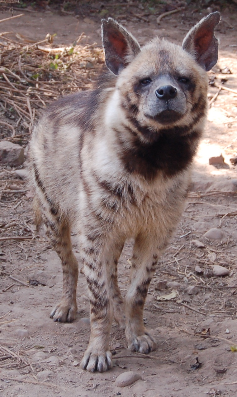 Interesting Facts About Striped Hyenas